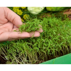 Microgreens - Garden dill - young leaves with exceptional taste - 1680 seeds