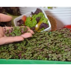 Microgreen - Purple perilla - daun muda dengan rasa yang luar biasa; Perilla Jepun - 3000 biji -  - benih