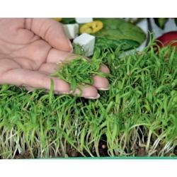 Microgreen - Bayam - daun muda dengan rasa yang luar biasa - 800 biji - Spinacia oleracea L. - benih