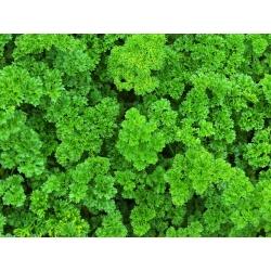 Parsley - a selection of varieties - PELLETED SEEDS - 300 seeds