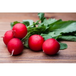 "Radish ""Saxa 2"" - round, red roots - COATED SEEDS - 300 seeds"