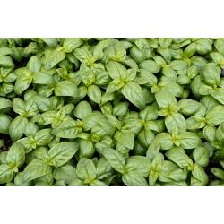 """BIO - Basil """"Italiano Classico"""" - hạt giống hữu cơ được chứng nhận - 325 hạt giống - Ocimum basilicum"""