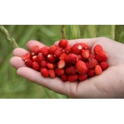 """Home Garden - Fresa salvaje """"Attila"""", variedad de arrastre - para cultivo en interiores y balcones - 330 semillas - Fragaria vesca L."""