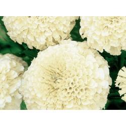 Kõrge peiulill - valge - 90 seemned - Tagetes erecta