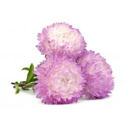 Бело-розовая пион астра - 500 семян - Callistephus chinensis - семена