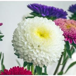 White pompom-flowered aster - 500 seeds