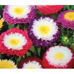 """Aster """"Supreme"""" - variety mix - 250 seeds"""