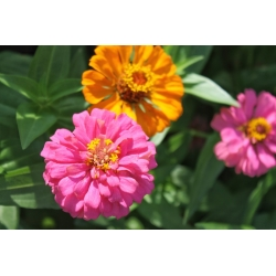 "Dwarf zinnia ""Thumbelina"" - 60 seeds"