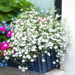 White edging lobelia; garden lobelia, trailing lobelia