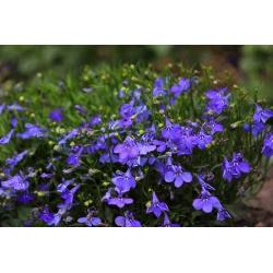 Sinine serva lobelia; aia lobelia, lobelia - 6400 seemet - Lobelia erinus - seemned