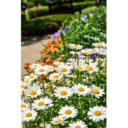 White dwarf chrysanthemum - 340 seeds