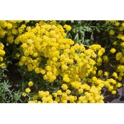Kalju kuldkilbik - 500 seemned - Alyssum saxatile
