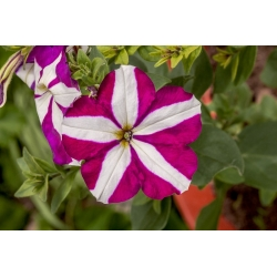 Petuunia Starlet F2 - purpurpunane - 80 seemned - Petunia x hybrida pendula