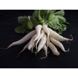 تربچه تربچه، ریشه تربچه، ریشه های گیاهی - SEED TAPE - Raphanus sativus L. - دانه
