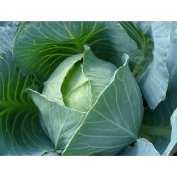 Peakapsas - Amager kurzstrunkig - valge - 480 seemned - Brassica oleracea convar. capitata var. alba