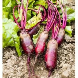 "Červená repa ""Cylindra"" - COEDED SEEDS - 100 semien - Beta vulgaris var. conditiva  - semená"
