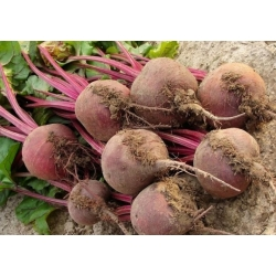 "Beetroot ""Red Ball"" - PELLETED SEEDS - 100 seeds"