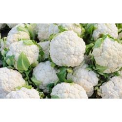 "White cauliflower ""Igloo"" - early variety - COATED SEEDS - 50 seeds"
