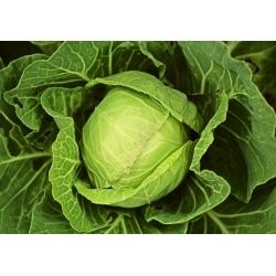 Peakapsas - Fantazja - valge - 100 seemned - Brassica oleracea convar. capitata var. alba