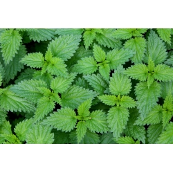 Nettles - grow this valuable herb on your own; stinging nettles - 700 seeds