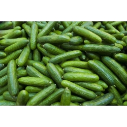 """Cucumber """"Lech F1"""" - greenhouse variety for spring and autumn cultivation under covers - 30 seeds"""