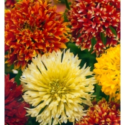 Firewheel; Indian blanket, Indian blanketflower, sundance - 400 seeds