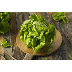 """Butterhead lettuce """"Lento"""" - for all-year cultivation - 900 seeds"""