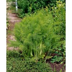 Harilik apteegitill - Magnafena - 200 seemned - Foeniculum vulgareMill