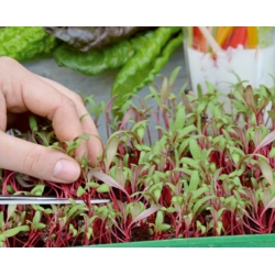 Microgreens - Mangold - young leaves with exceptional taste - 450 seeds