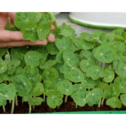 Microgreens - Dwarf nasturtium - young leaves with an unique taste - 160 seeds