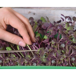 Microgreens - Radish - young leaves with an unique taste - 255 seeds