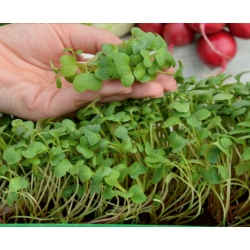 Microgreens - Red radish - young leaves with an unique taste