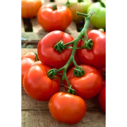 """Tomato """"Babinicz"""" - field, determinate, early variety"""