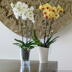 "Obal na orchidey ""Wenus"" - 14,6 cm - krémovo-biela -"
