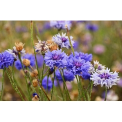 Aciano - variada - 220 semillas - Centaurea cyanus