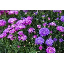 "Dwarf aster ""Pepite"" - variety mix - 500 seeds"
