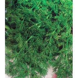 Aedtill - Elefant - 1600 seemned - Anethum graveolens L.
