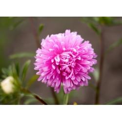 "Pink chrysanthemum-flowered aster ""Beryl"" - 250 seeds"