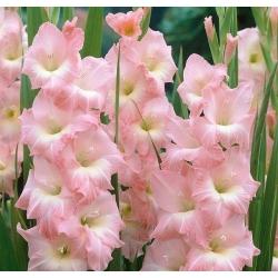 גלדיולוס רוז רוז - 5 בצל - Gladiolus