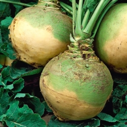 "Rutabaga ""Kaszubska"" - with low requirements regarding soil"
