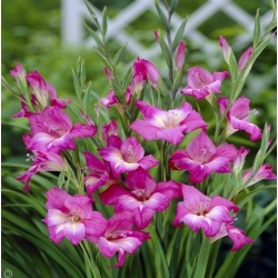 Pesona Gladiol - 5 lampu - Gladiolus