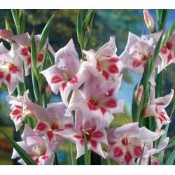 Gladiolas Elvira - 5 gab. Iepakojums - Gladiolus