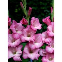 Gladiolas Isla Margarita - 5 gab. Iepakojums - Gladiolus