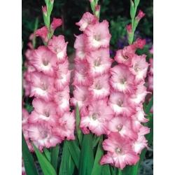 Gladiolas Cheops - 5 gab. Iepakojums - Gladiolus