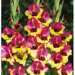 Gladiolas Vasto - 5 gab. Iepakojums - Gladiolus