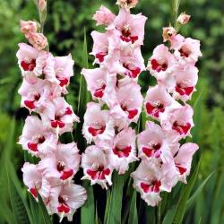 Gladiolas Wine & Roses - 5 gab. Iepakojums - Gladiolus