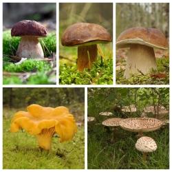 ست قارچ صنوبر + قارچ چوبی - 5 گونه - میسلیوم ، تخم ریزی -