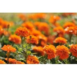 "French marigold ""Mandarin"" - orange - 158 seeds"