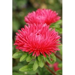 "Needle-petal aster ""Esmeralda"" - red - 225 seeds"