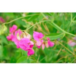 Õnnelik aed - Lõhnav lillhernes - 24 seemned - Lathyrus odoratus